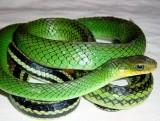 chinese-rat-snake-320x242