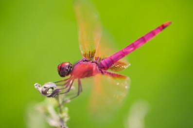 bright-red-dragonfly
